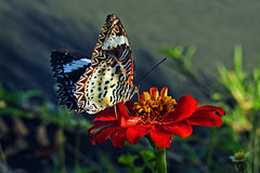 Red Lacewing !! (Lopamudra !) Tags: lopamudra lopamudrabarman lopa andaman andamanandnicobarislands india butterfly lacewing nature diglipur beauty beautiful female wilderness wild colour color colours colourful