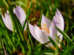 Tra fili d'erba (silvia07(very busy)) Tags: fiore flower crocus erba grass nature natura green verde