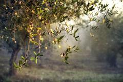 olives ready for harvest (jody9) Tags: tuscany olives italy olivegrove olivetrees foggy