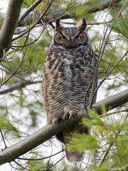 ''Le grand!'' Grand-duc d'Amérique-Great horned owl (pascaleforest) Tags: canada quebec faune wildlife wild nature nikon passion animal bird oiseau