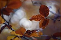 In the autumn light. Clouds of leaves. (Gudzwi) Tags: woods wald blätter bäume fagus buche fagussylvatica herbstfärbung rotbuche commonbeech orange blur detail closeup licht flora bokeh herbst natur struktur gelb braun textur unschärfe rotbraun geringetiefenschärfe trees light brown texture leaves yellow forest european structure autumncolors beech shallowdepthoffield herbstspaziergang redbrown fuzziness autumn nature autumnwalk wednesdaybokeh hbw