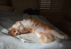 Jimmy has a hard time relaxing. (rootcrop54) Tags: jimmy orange ginger longhair longhaired tabby male masked cat stretch bunnypaws bedroom sunny spot neko macska kedi 猫 貓 kočka kissa γάτα köttur kucing gatto 고양이 kaķis katė katt katze katzen katua kot кошка mačka gatos kotek мачка pisică pisici maček kitteh chat ネコ cc100 cc500
