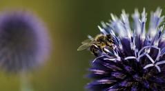 Arbeits - Biene ...... (Fritz Zachow) Tags: insekt biene garten blüte distel deutschland
