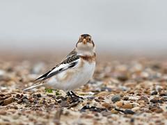 Snow Bunting (legoman1691) Tags: snow bunting nature wildlife wildbird beach naturephotography