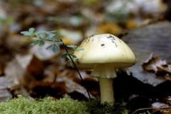 Champignons de la Forêt de Dreux (Philippe_28) Tags: 28 eureetloir france europe argentique analogue camera photographie film 135 forêt champignon mushroom amanite phalloïde