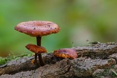Champignon (Magraiveur Marc) Tags: champignons nature proxi proxiphoto macro fz1000 lumix magraiveur