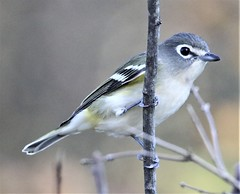Mountain Vireo (Vireo solitarius alticola) 10-09-2019 Finzel Swamp--Field and Pond, Allegany Co. MD 1 (Birder20714) Tags: birds maryland vireos vireonidae vireo solitarius alticola