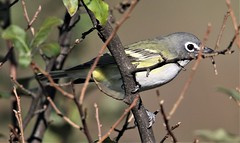 Blue-headed Vireo (Vireo solitarius solitarius) 10-09-2019 Finzel Swamp--Field and Pond, Allegany Co. MD (Birder20714) Tags: birds maryland vireos vireonidae vireo solitarius