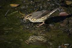 Northern Waterthrush (jt893x) Tags: 150600mm bird d500 jt893x nikon nikond500 northernwaterthrush parkesianoveboracensis sigma sigma150600mmf563dgoshsms songbird warbler waterthrush