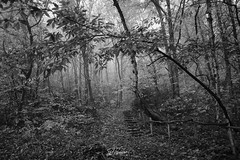 Log stairway (PhrozenTime/WAHLBRINKPhoto) Tags: geography europe french france brittany illeetvillaine poligné tertregris bw blackandwhite bnw nb weather foggy fog timeofyear autumn fall timeofday morning biology plant tree deciduous betulapendula bouleauverruqueuxoubouleaublanc sweetchestnut illeetvilaine35