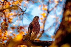 Hawk wide angle (ktacia) Tags: arborhills autumn bird fall hawk plano texas tree arborhillsnaturepreserve