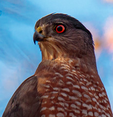 hawk Close up hero shot (ktacia) Tags: tree hawk bird texas nature plano arborhillsnaturepreserve arborhills