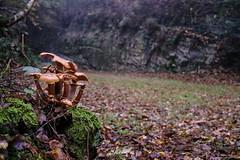 Eruption of mushrooms (PhrozenTime/WAHLBRINKPhoto) Tags: biology mycologie fungus fungi mushroom trichaptumsp armillariamellea honeymushroom geography europe french france brittany illeetvillaine poligné tertregris weather foggy fog timeofyear autumn fall timeofday morning plant tree illeetvilaine35