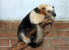 Just leave me alone (Schwanzus_Longus) Tags: mammal america animal ant anteater bear cute dortmund funny german germany lesser nocturnal small snout south tamandua tropical wild zoo antbear ameisenbär