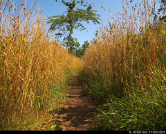 20190726_01 Trail through tall yellow grass | Kinnekulleleden, Västergötland, Sweden (ratexla (protected by Pixsy)) Tags: ratexlaskinnekulleledenhike2019 kinnekulleleden 26jul2019 2019 kinnekulle canonpowershotsx50hs västergötland sweden sverige scandinavia scandinavian europe earth tellus travel travelling traveling journey epic photophotospicturepicturesimageimagesfotofotonbildbilder wanderlust vacation holiday semester trip backpacking resaresor europaeuropean sommar summer ontheroad nordiccountries norden skandinavien hiking hike beautiful vandra vandring nature grass gräs field fields trail trails path paths stig vandringsled vandringsleder landscape scenery scenic childfree ratexla photosbyjosefinestenudd favorite hundäxing cocksfoot dactylisglomerata maybe almostanything unlimitedphotos
