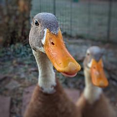 Good Morning, Bumble!! (kdandilion) Tags: ducks indianrunnerducks indianrunners runnerducks dumdums dorks drakes