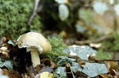 Champignons de la Forêt de Dreux (Philippe_28) Tags: champignons dreux 28 eureetloir france europe argentique analogue camera photographie film 135 forêt champignon mushroom amanite phalloïde