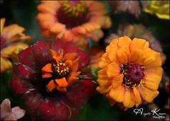 Zinnias... (angelakanner) Tags: canon70d tamron18400 zinnia garden longisland closeup processed topaz
