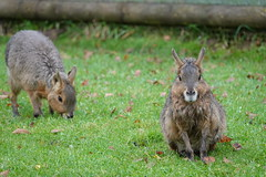 Maras at Yorkshire Wildlife Park (ec1jack) Tags: yorkshirewildlifepark yorkshire wildlife park doncaster england britain uk europe animal zoo november ec1jack kierankelly outings tourist attraction mara