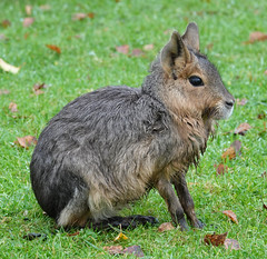 Mara at Yorkshire Wildlife Park (ec1jack) Tags: yorkshirewildlifepark yorkshire wildlife park doncaster england britain uk europe animal zoo november ec1jack kierankelly outings tourist attraction mara