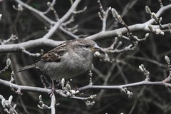 365 - Image 321 - Sparrow... (Gary Neville) Tags: 365 365images 6th365 photoaday 2019 sony sonyrx10iv rx10iv rx10m4 m4 garyneville