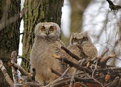 Great Horned Owlets...#5 (Guy Lichter Photography - 5.3M views Thank you) Tags: canon 5d3 canada manitoba winnipeg wildlife animal animals bird birds owl owls greathornedowl