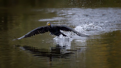 Takeoff (Franck Zumella) Tags: low lake bas lac water eau blue bleu cormorant cormoran oiseau bird black noir nature composition fast fly flying vol voler rapide sony a7s a7 tamron 150600
