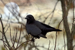 autumn evening (1crzqbn) Tags: sliderssunday crow juvenile moon textures outside bokeh inmygarden 1crzqbn