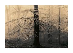 Wood in Fog (Wolfgang Moersch) Tags: fp4 tanol 2ndpasslith slavichaero