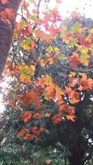 (sftrajan) Tags: autumn sanfranciscobotanicgarden jardinbotanique sanfrancisco strybingarboretum