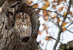 Tawny Owl (KJB Photography.) Tags: tawny owl park oak tree forest