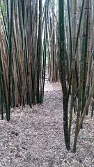 (sftrajan) Tags: bamboo asianplants sanfranciscobotanicgarden jardinbotanique sanfrancisco strybingarboretum