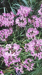 (sftrajan) Tags: capeprovincegarden sanfranciscobotanicgarden jardinbotanique sanfrancisco strybingarboretum