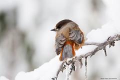 Siberian Jay! (petergranström) Tags: approved siberian jay lavskrika bird fågel snow snö crotch wings vingar feather fjäder