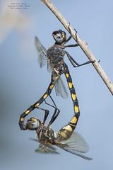 Zygonyx torridus (Kirby, 1889) (Pipa Terrer) Tags: zygonyxtorridus ríoluchena lorca insecta invertebrados odonata anisoptera insectos