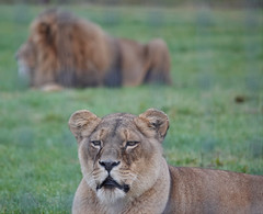 Lioness and Lion at Yorkshire Wildlife Park (ec1jack) Tags: yorkshirewildlifepark yorkshire wildlife park doncaster england britain uk europe animal zoo november ec1jack kierankelly outings tourist attraction lion lioness