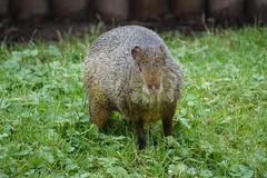 Azara's Agouti (ec1jack) Tags: yorkshirewildlifepark yorkshire wildlife park doncaster england britain uk europe animal zoo november ec1jack kierankelly outings tourist attraction azarasagouti
