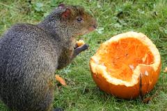Azara's Agouti eating pumpkin (ec1jack) Tags: yorkshirewildlifepark yorkshire wildlife park doncaster england britain uk europe animal zoo november ec1jack kierankelly outings tourist attraction azarasagouti eating pumpkin