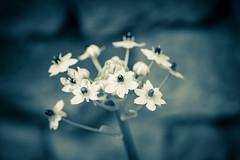 DSC_8587.jpg (pcaille) Tags: noirblanc macro fleur