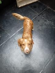 Lukas (Santiago Stucchi Portocarrero) Tags: perro can cane dog hound hund chien santiagostucchiportocarrero