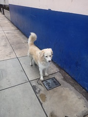 Lima - Calle Espejo (Santiago Stucchi Portocarrero) Tags: perro can cane dog hound hund chien santiagostucchiportocarrero miraflores lima perú