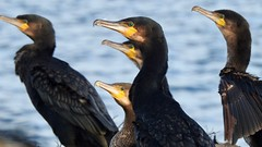Cormorant (LouisaHocking) Tags: batteryrocks penzance cornwall cormorant sea beach coast england seabird