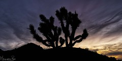 Joshua Tree (magnetic_red) Tags: joshuatree silhouette sunset clouds sky dramatic nopeople beautyinnature mojavenationalpreserve