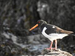 Oystercatcher (LouisaHocking) Tags: batteryrocks penzance cornwall southwest england wader oystercatcher seabird sea coast beach