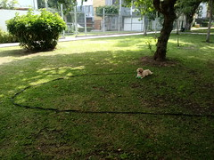 Lima - Parque Eduardo Villena Rey (Santiago Stucchi Portocarrero) Tags: perro can cane dog hound hund chien roni santiagostucchiportocarrero miraflores lima perú