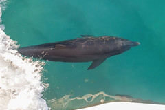 Bow Riding (Mike Matney Photography) Tags: 2019 canon destin eos6d florida november vacation dolphin nature gulfofmexico water ocean