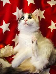 20171203_0708c (Fantasyfan.) Tags: turkish van kitten cat ruska kuunkissan fantasyfanin