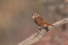 Fox Sparrow (Joe Branco) Tags: photoshop lightroom wildlifephotographer canada ontario nikond850 macro branco joe joebrancophotographer beautiful foxsparrow green