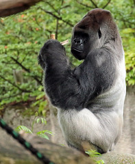 western lowlandgorilla Bokito Blijdorp BB2A0028 (j.a.kok) Tags: animal africa afrika aap ape mammal monkey mensaap primate primaat zoogdier dier gorilla westelijkelaaglandgorilla westernlowlandgorilla lowlandgorilla laaglandgorilla blijdorp bokito zilverrug silverback