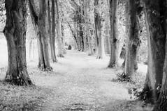 LightAvenue2 (ralfschäfer) Tags: ilfordfp4 nikonf90x lüneburg trees xtol